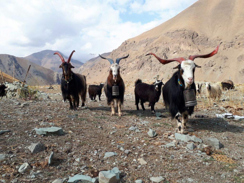 Goats in Iran - Goosfand